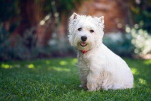 3ca22_West-Highland-White-Terrier-168553049-resized