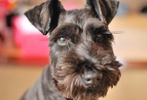getty_rf_photo_of_black_miniature_schnauzer